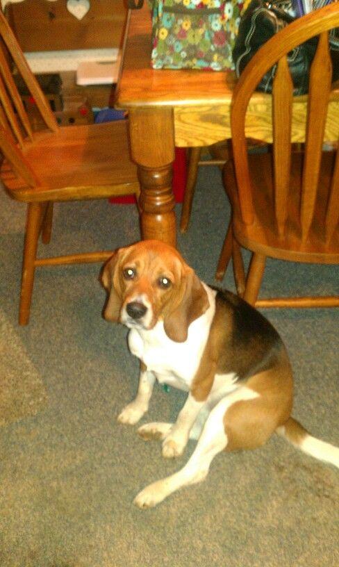 Love Those Ears Blue Tick Beagle Beagle Puppy Beagle