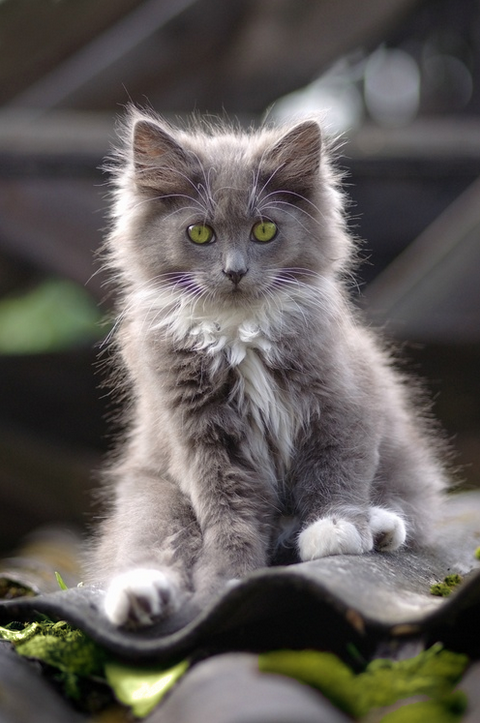 Fluffy Gray Kitten Sinful Sorrow Http Sinful Sorrow Tumblr Com
