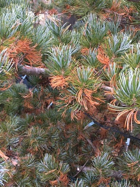 Why Inner Conifer Needles Turn Brown or Yellow Landscape