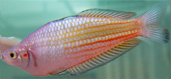 Australian Crimson Spotted Rainbow Fish Which Learnt To Escape From A Net In Their Tank Remembered How They Did It 11 Months L Rainbow Fish Fish Real Tattoo