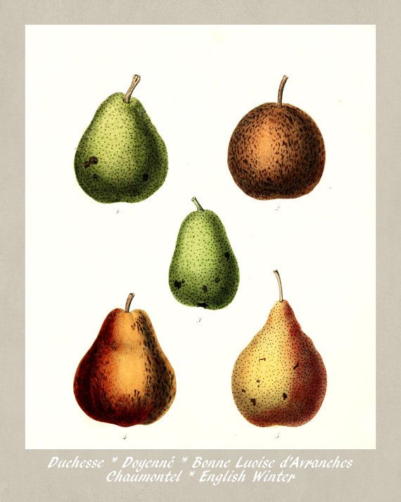 Pears Botanical Print Vintage Pears by FabVintagePosters on Etsy