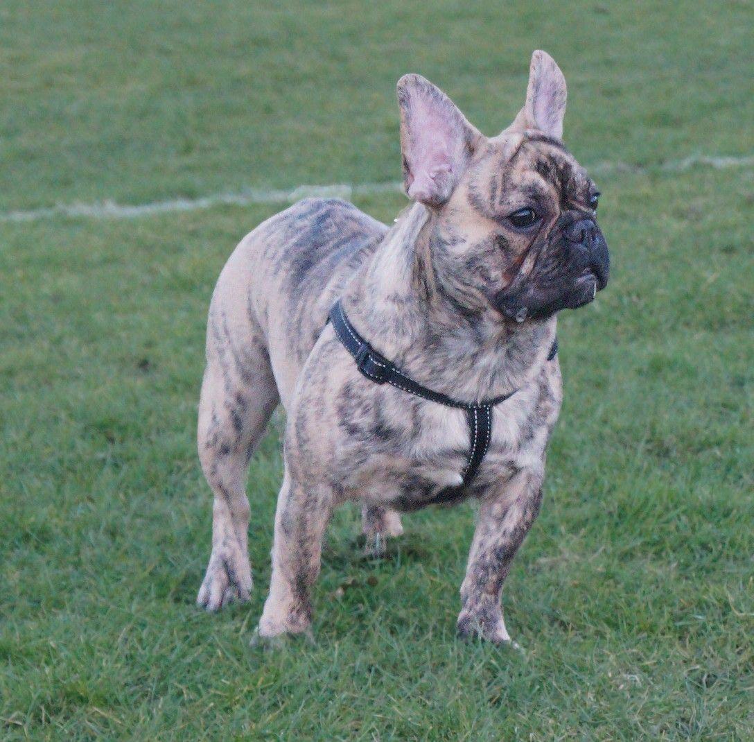 Reverse Brindle French Bulldog 😍😍 French bulldog