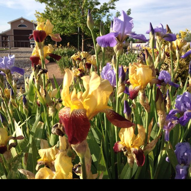 Beautiful irises. Love this time of year!