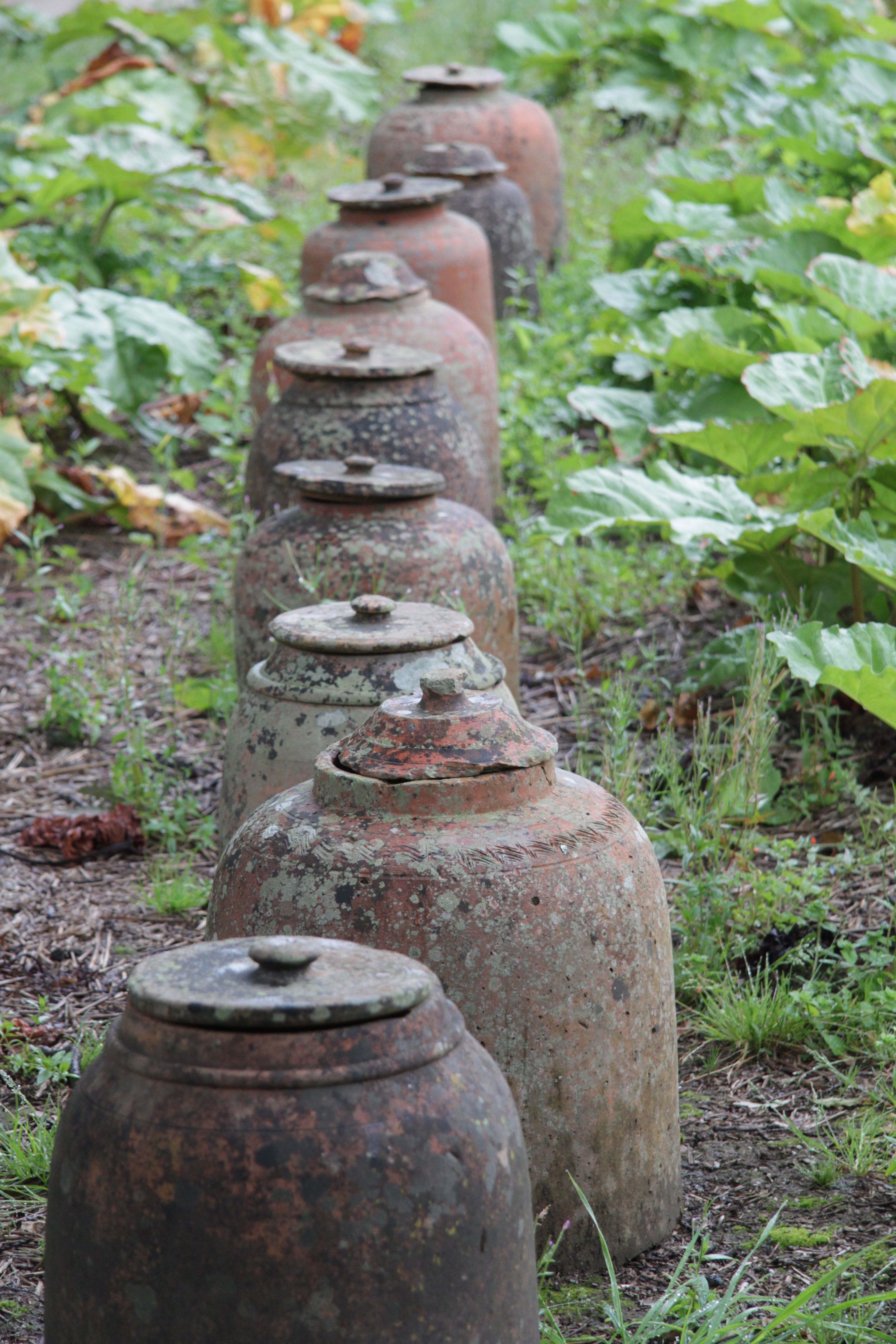rhubarb forcing pots - Rhubarb can also be forced outdoors during the winter by placing large light-proof pots (like plastic garbage cans) over the crowns and if possible insulating with straw, or better still, fresh horse manure which is warm and will speed up the forcing process.
