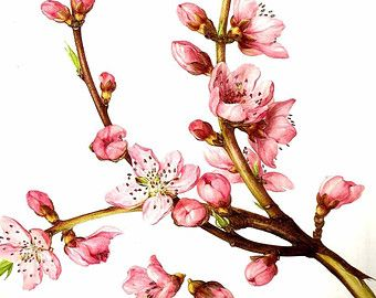 illustrations of peach tree branches - Google Search ...