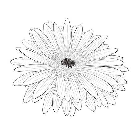 Beautiful Monochrome Black And White Gerbera Flower Isolated Gerbera Flower Flower Drawing Gerbera