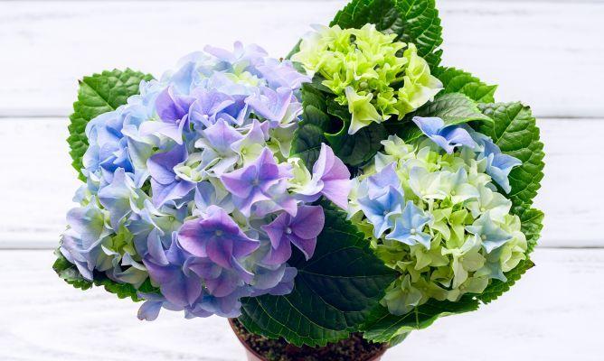 C mo y cu ndo reproducir las hortensias por esquejes - Hortensias cuidados poda ...