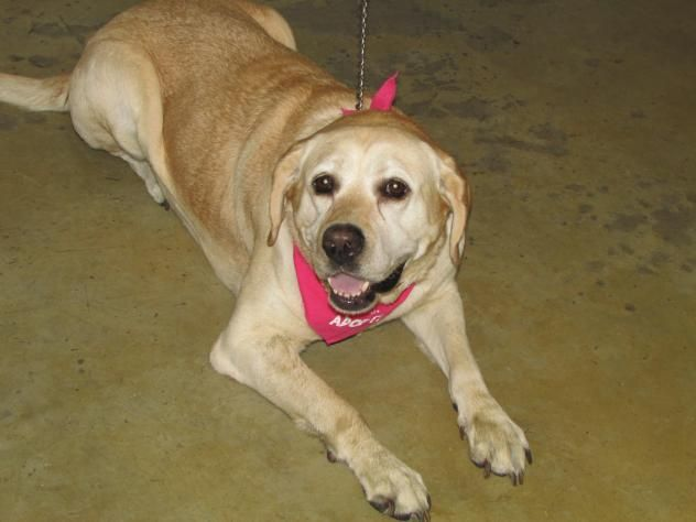 Adopt Cashew On Labrador Retriever Dog Retriever Dog Animals Pets