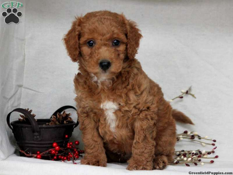 Denver Miniature Labradoodle Puppy For Sale In Leola Pa