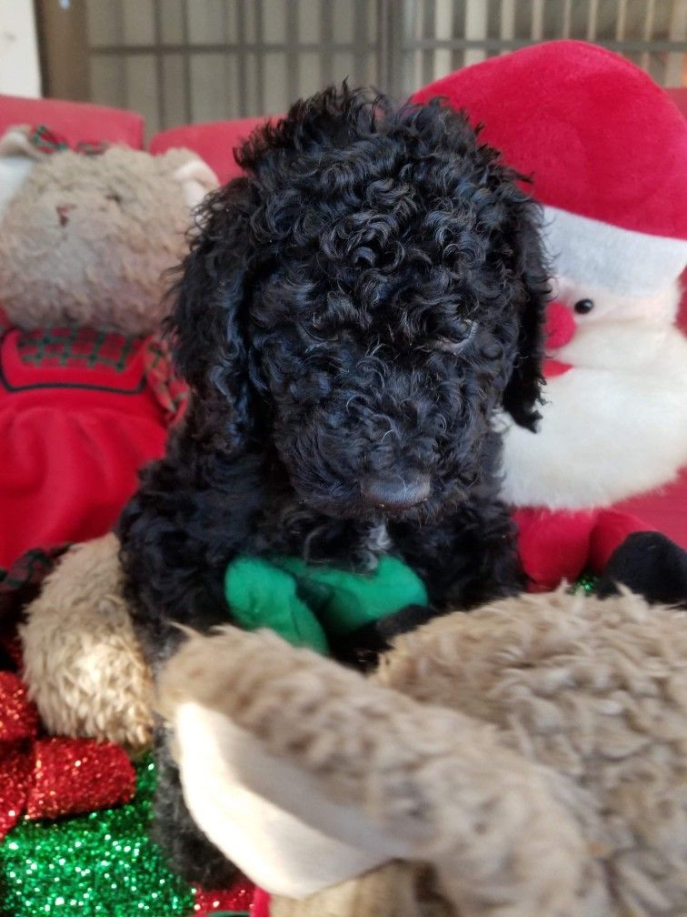 4 Week Old Standard Poodle Puppy Poodle Puppy Standard Poodle