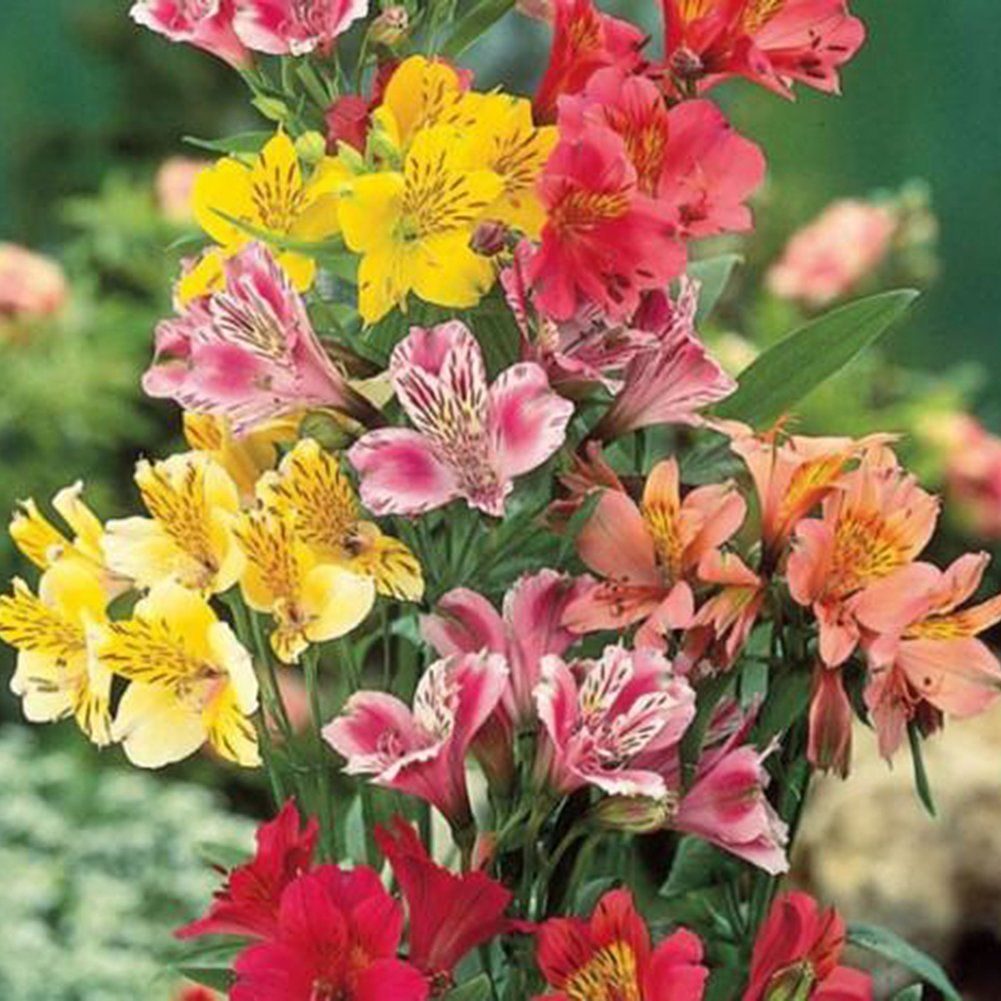 Alstroemeria Lily Seeds Mix Colors Flowers Hardy Perennials Lily Seeds Alstroemeria