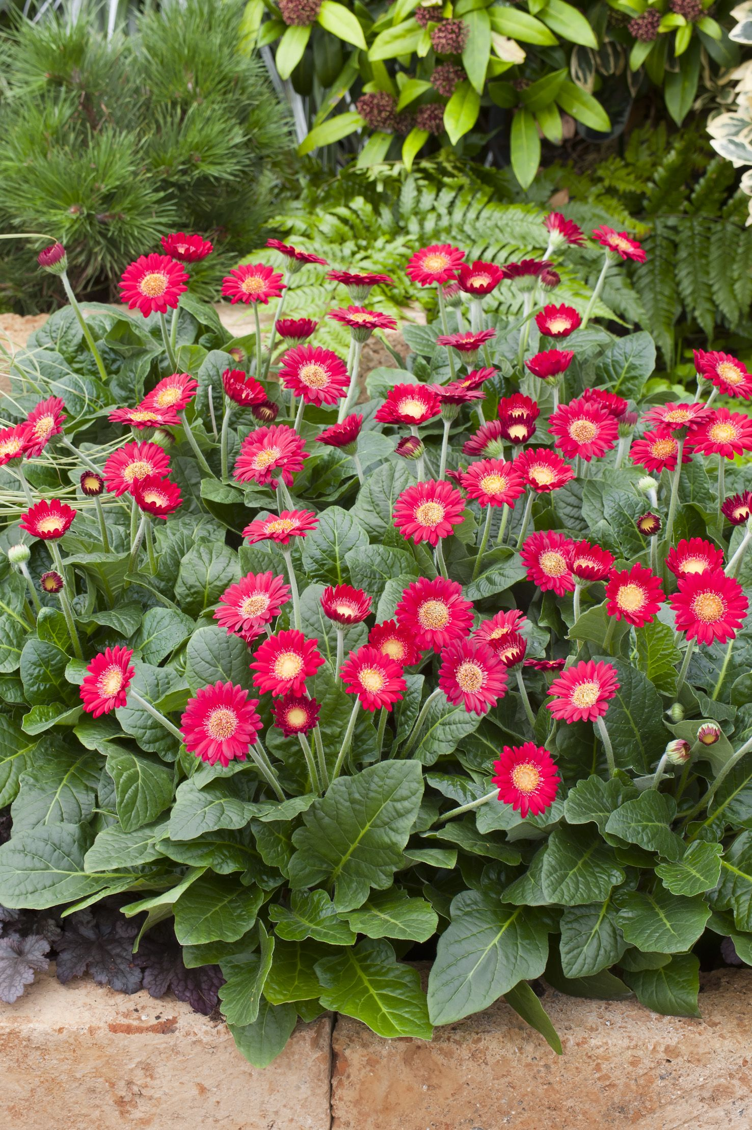 Cindy Garvinea Gerbera Gerbera Perennials Gerbera Flower