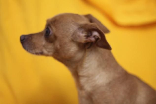 Adopt Sneakers On Chihuahua Mix Animal Rescue Chihuahua