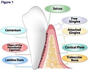 Histology of periodontium pdf download