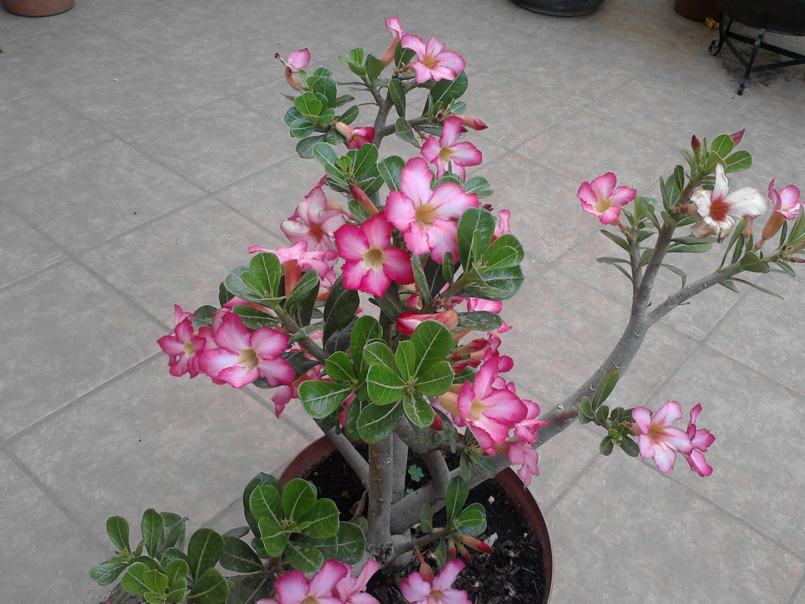Rosa del desierto y sus cuidados jardin pinterest for Pianta rosa
