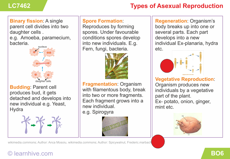 Asexual reproduction fission examples of verbs