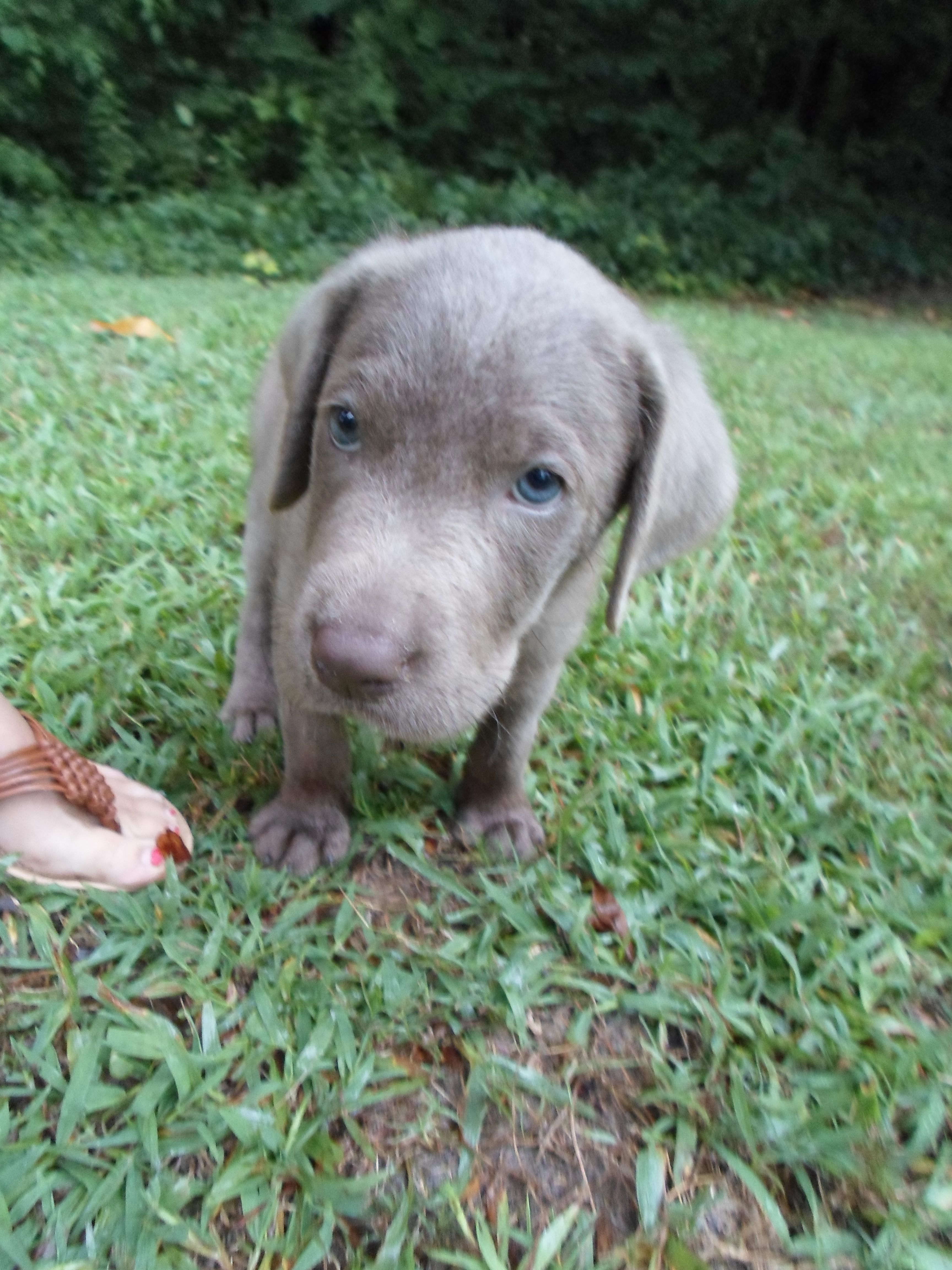 Zane! Our sweet baby silver lab puppy, and his precious