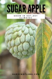 Grow A Sugar Apple Tree Sugar Apples Dry Climates Apple Tree From Seed