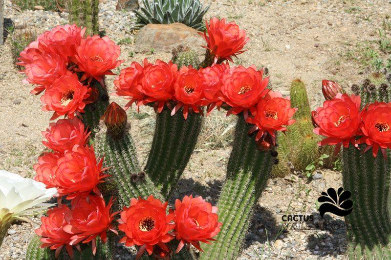 resultado de imagem para imagenes de cactus florecidos | flores 2