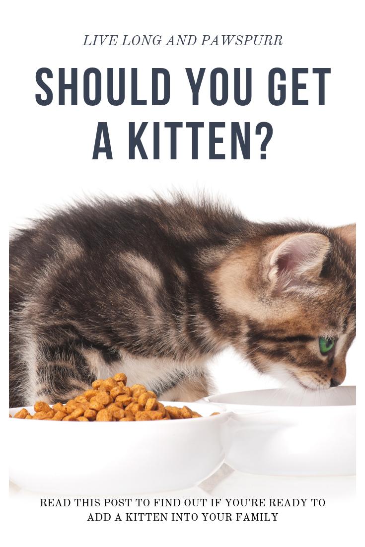 Should You Get A Kitten Getting A Kitten Kitten Adoption Cat Adoption