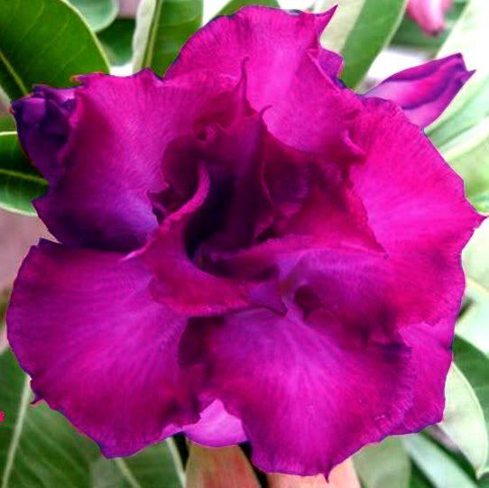 flower bonsai yellow star seeds #D008 5 pcs desert rose adenium obesum