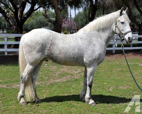 Friesian Horses   Friesian Cross Horse Gelding - Dressage, 3 day event, show/pleasure ...