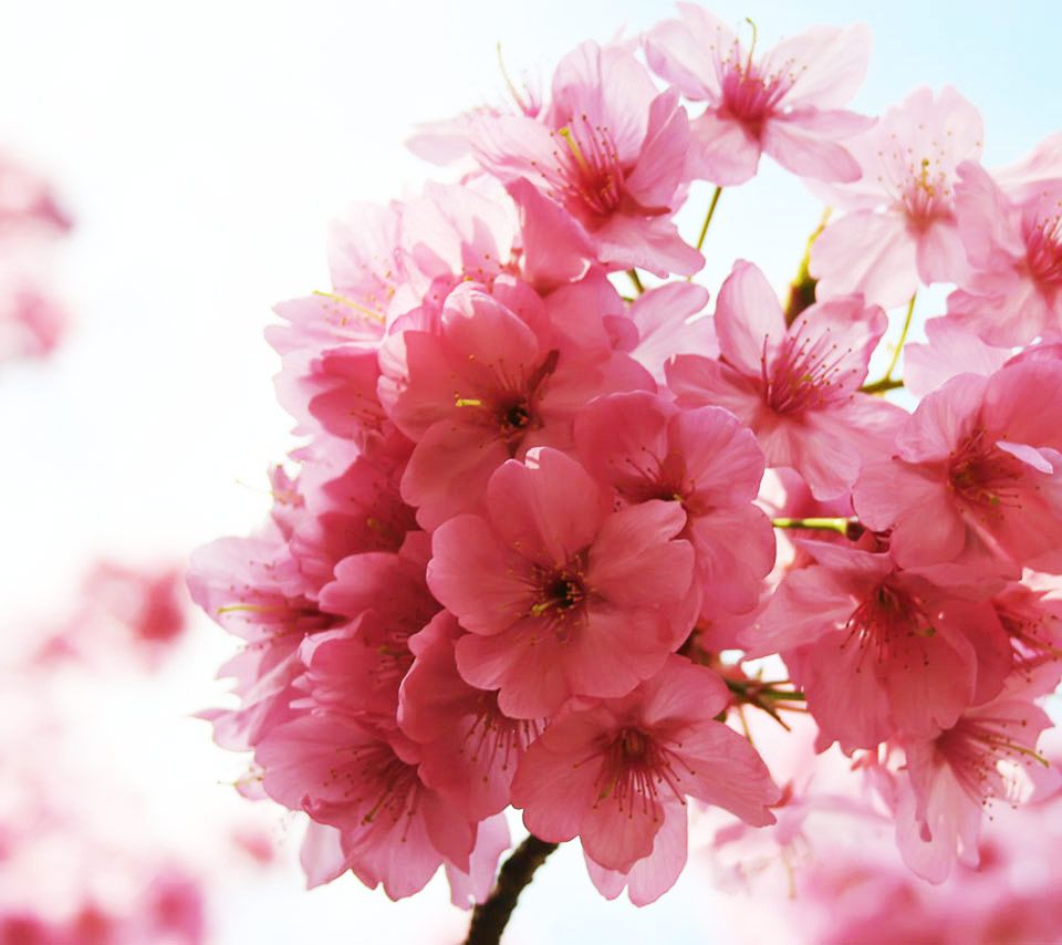 Http Services Flikie Com View V3 Android Wallpapers 33580920 Pink Flower Pictures Cherry Blossom Flowers Blossom Flower