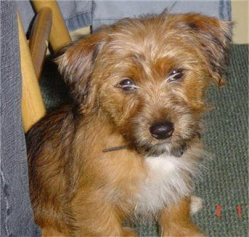 Yorkie Russell Like My Chewie Sweet Little Fella Safe Dog Toys Yorkie Jack Russell Terrier