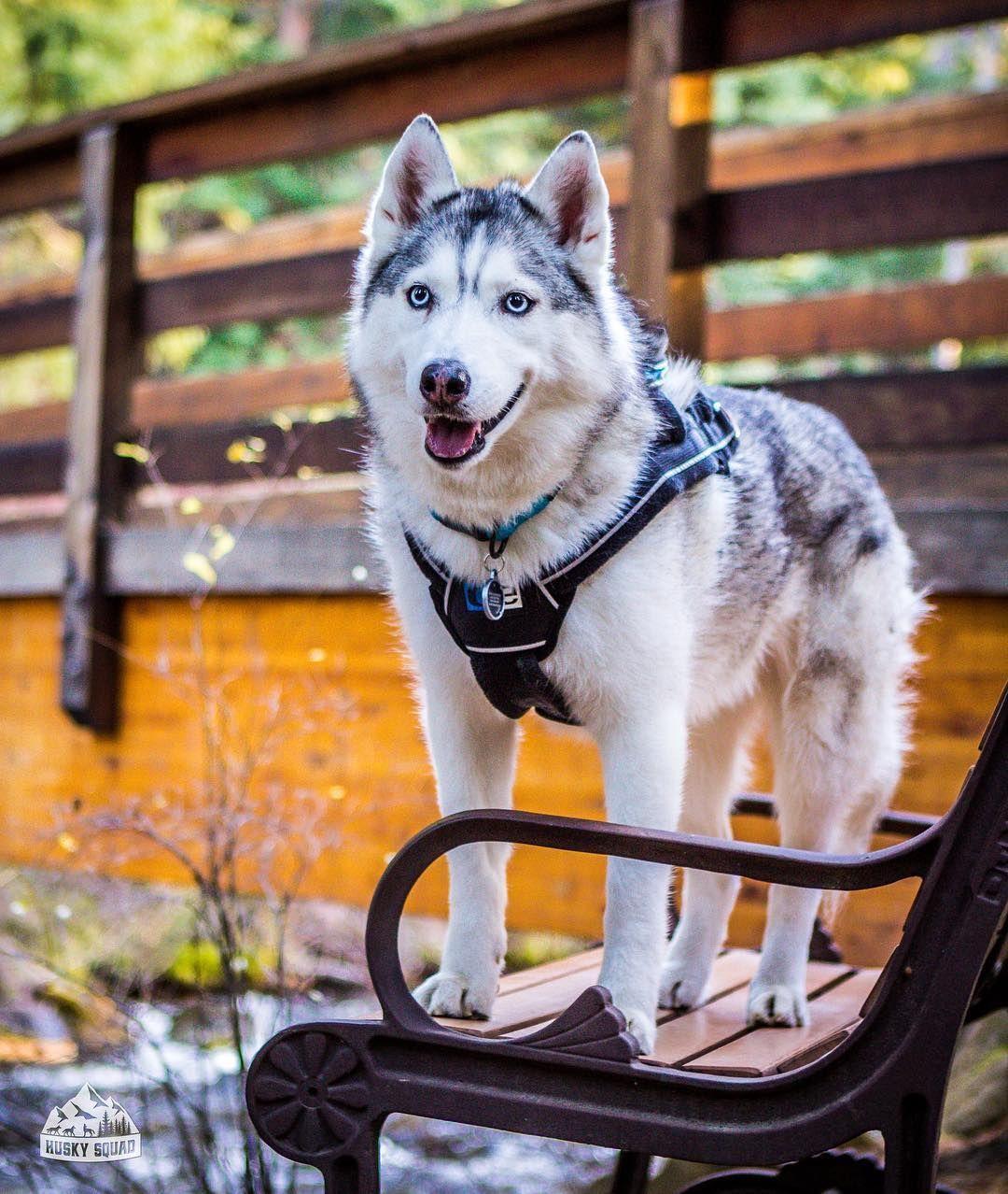 Pin By Cindy Scott On Siberian Husky Husky Snow Dogs Dogs