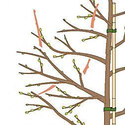 Kirschbäume im Sommer schneiden #orchideenpflege