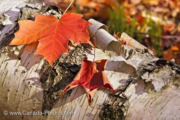 Tree Bark With Fall Colored Maple Leaves Algonquin Provincial Park Photo Travel Idea Canada Picture Tree Fall Colors Maple Leaf