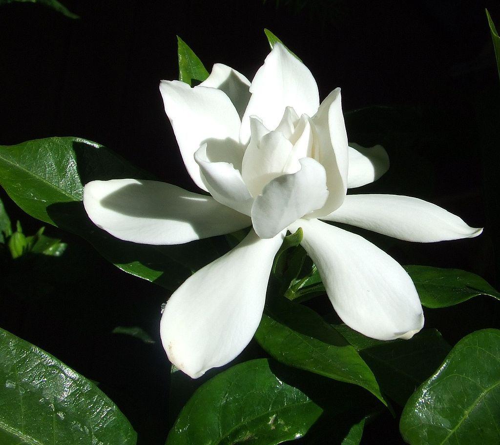 Gardenia Flower Gardenia Wikipedia The Free Encyclopedia