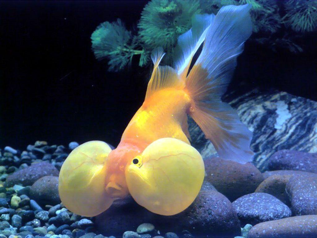 BubbleEye (Gold Fish)