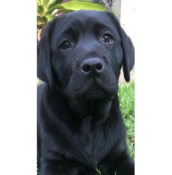 Gorgeous Black Lab Puppy Labrador Puppy Black Labrador Puppy Pedigree Dog