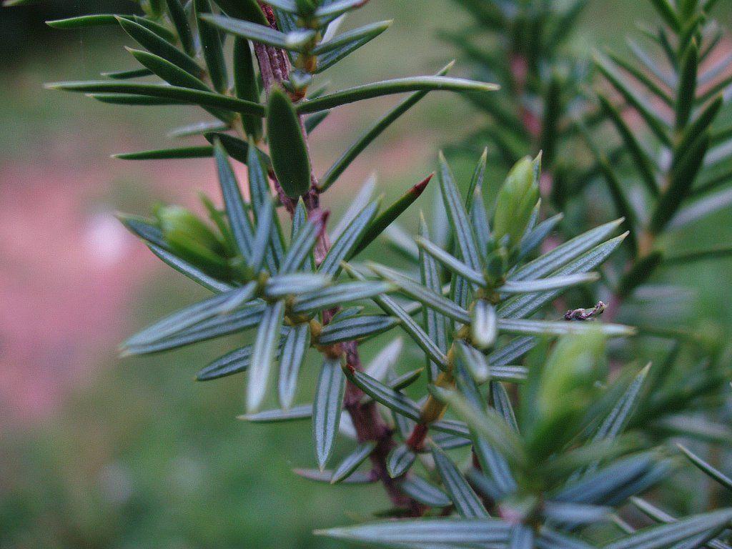 Enebro comun hoja rboles y plantas pinterest enebro for Arbol comun