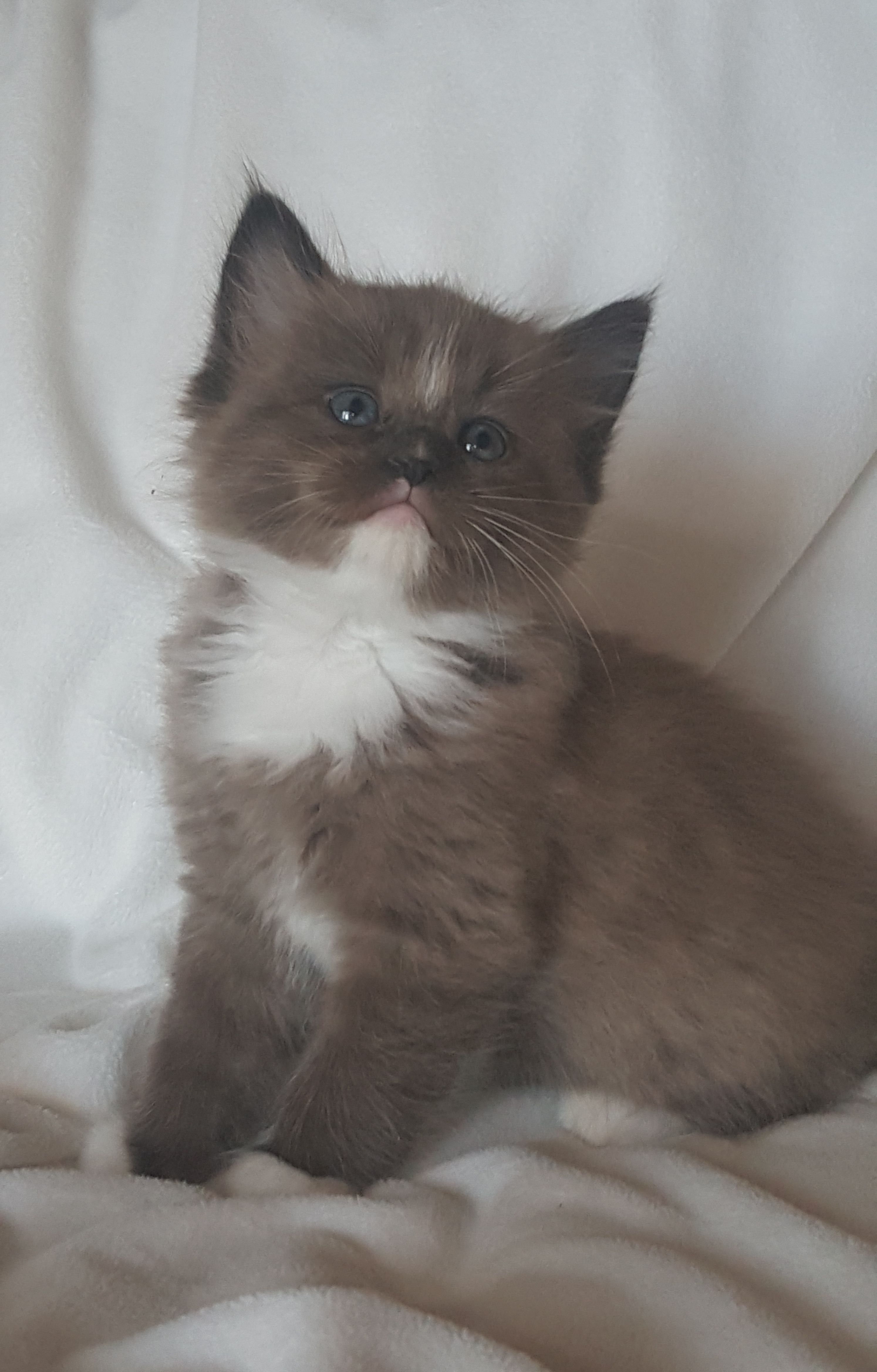 Seal Mitted Sepia Ragdoll Kitten RagaMuffin Cat