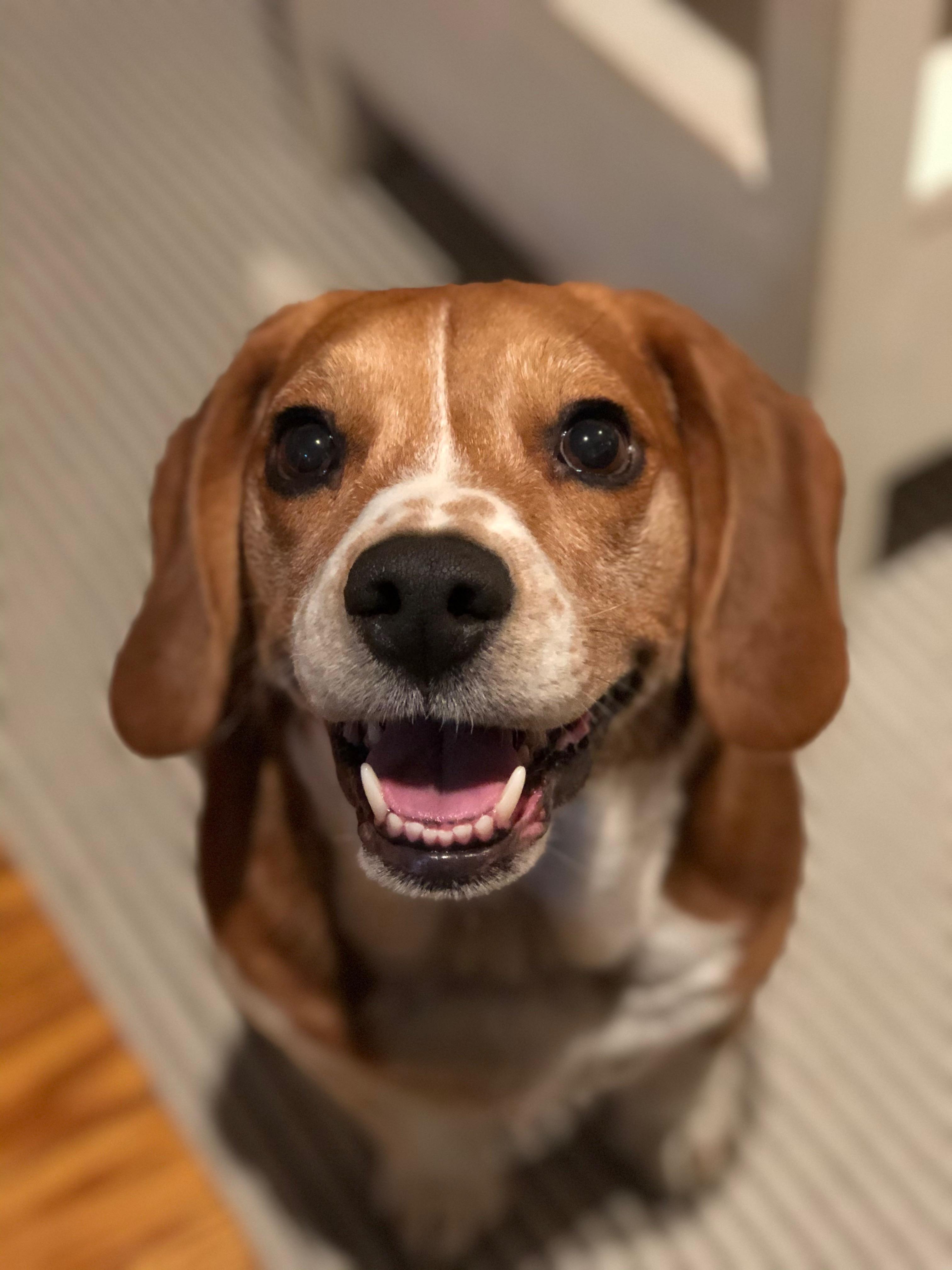 https//i.redd.it/6q877ii43zk41.jpg in 2020 Cute beagles