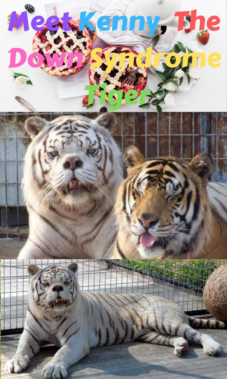 Kenny Is A White Tiger That Was Selectively Inbred While In Captivity In The United States As Zoos And Exotic Pet Stores Along With Consu Animals Pet S
