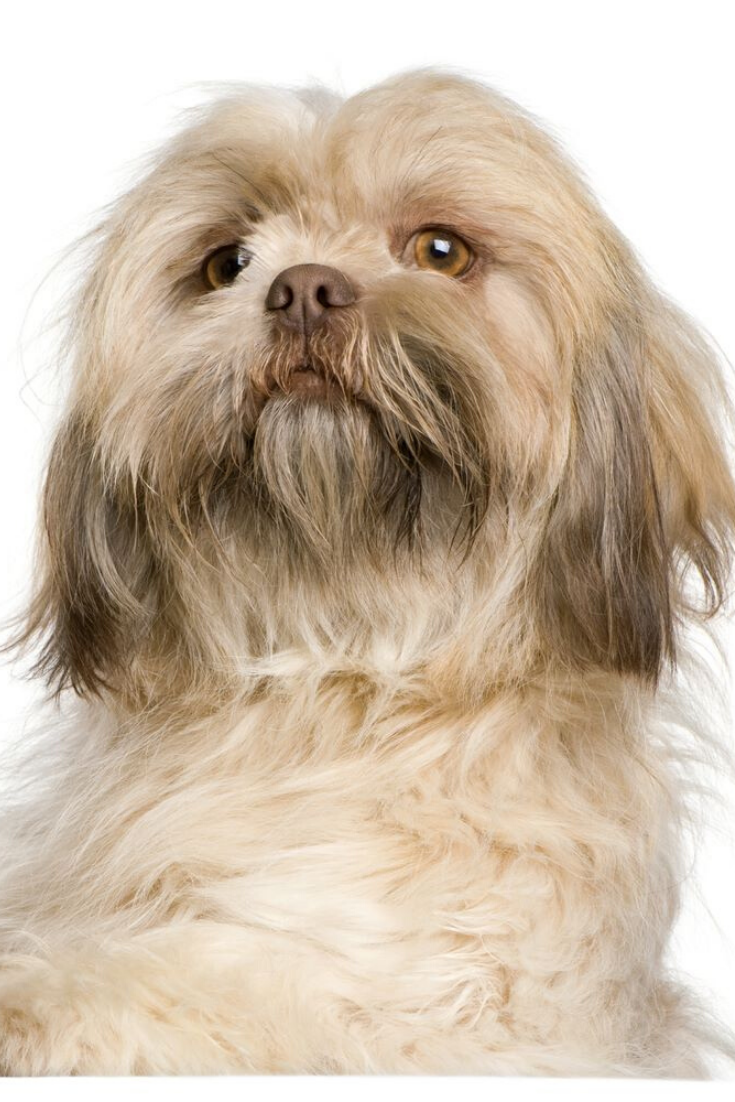 Close Up Of Shih Tzu 3 Years Old In Front Of White Background Shihtzu Shih Tzu Puppies Puppy Treats
