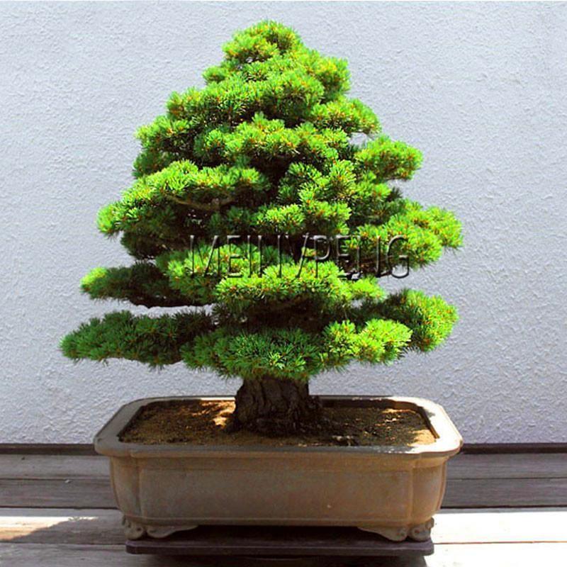 100pcs Sacred Japanese Cedar Tree Seeds Bonsai Plant Fir Plant Home Gardens