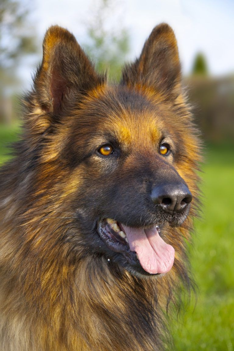 German Shepherd Names Top Best List Male Female Top 10 Dog