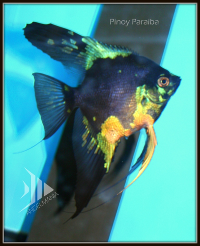 Blue Pinoy Paraiba Angelfish Our Superstars Super Sale On Now Tropical Freshwater Fish Angel Fish Tropical Fish Aquarium