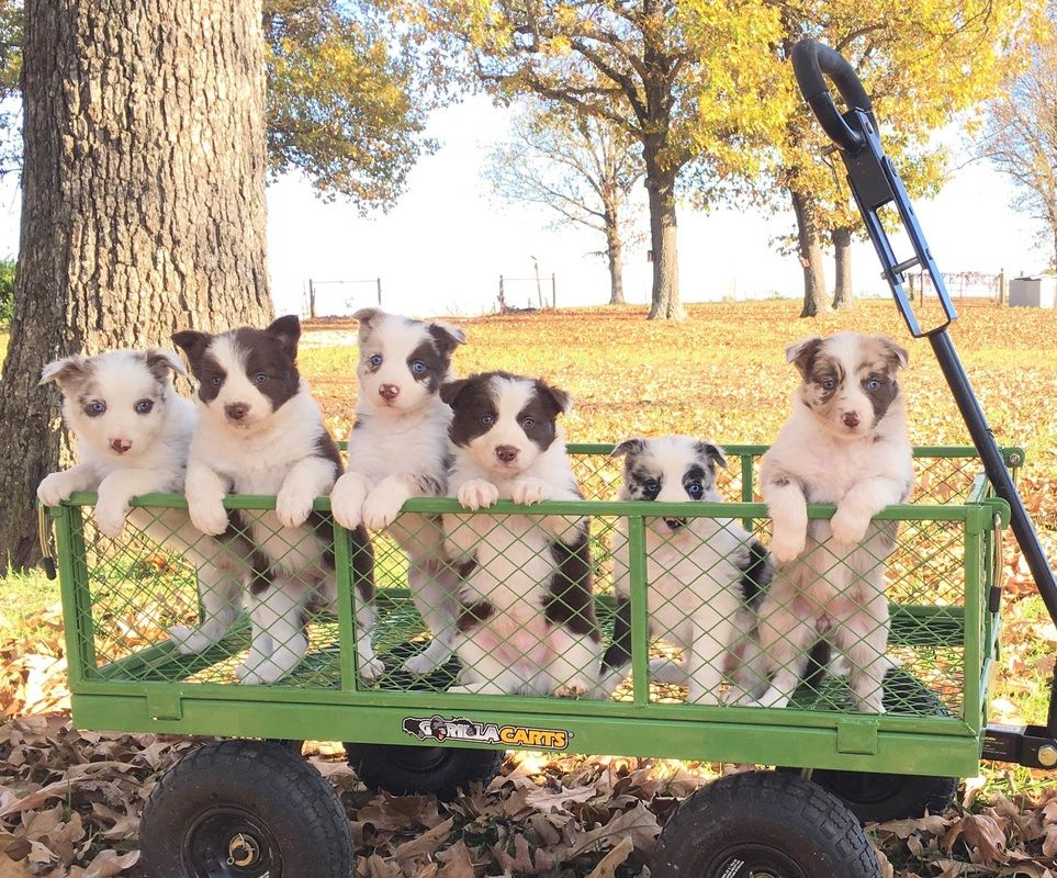 Border Collie Puppies Lined Up In A Wagon Border Collie Puppies