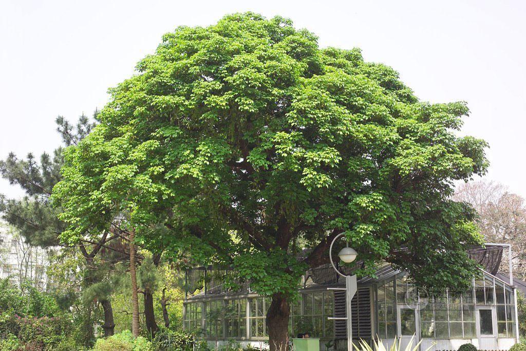 Bischofia javanica Blume 茄苳 庭, 落葉, 種