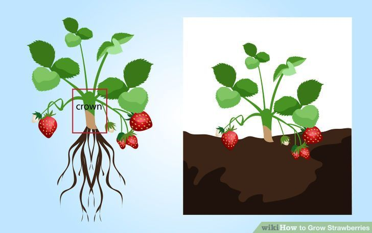 Strawberry Anatomy Gallery | Strawberries | Pinterest | Anatomy