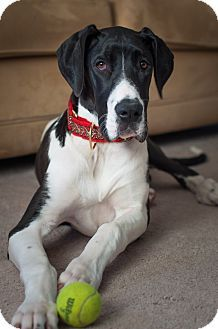 Adopt A Pet Misha Virginia Beach Va Great Dane Great Dane Great Danes For Adoption Pet Adoption