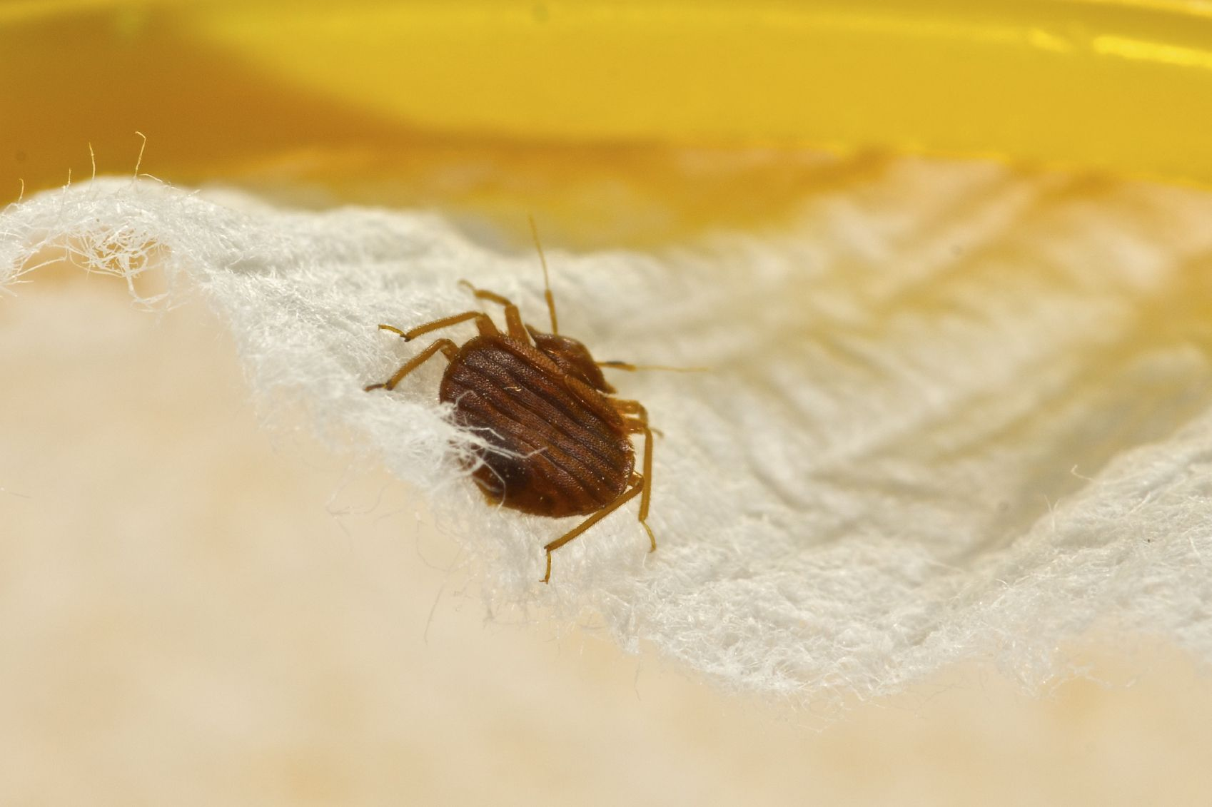 Scientists Have Discovered Bedbugs Have Developed A Defense Against Chemical Sprays Here S How To Kill Them Naturally Without Toxic Insect Cleaning Pinte