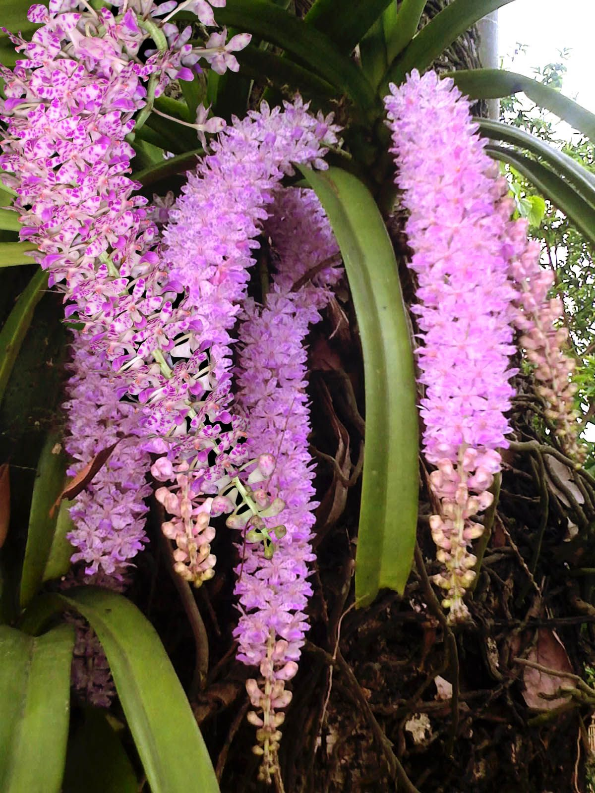 Kopou Phool Orchid Of Assam Orchid Flower Indian Flowers Orchids