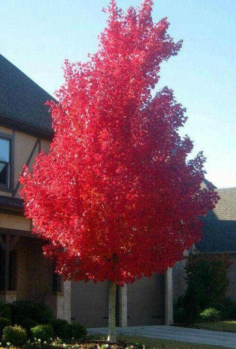 Red Mabel tree