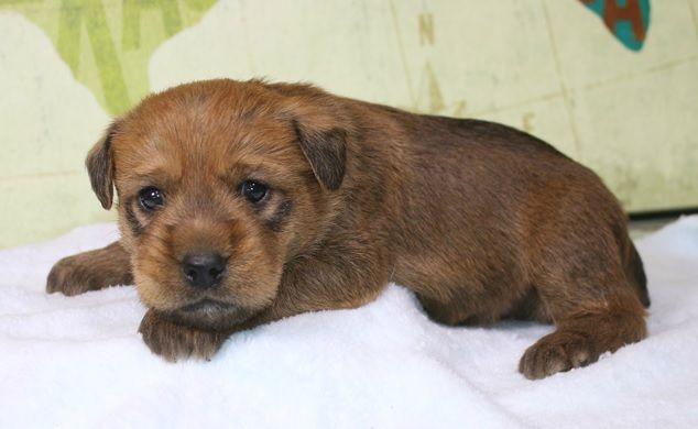 August Soft Coated Wheaten Terrier Dog Life Wheaten Terrier